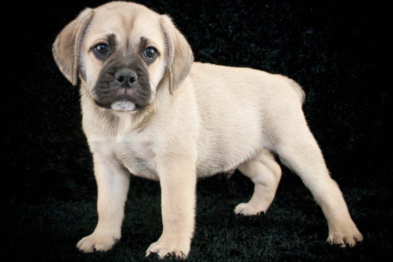 beabull dog_JStaley401_Shutterstock