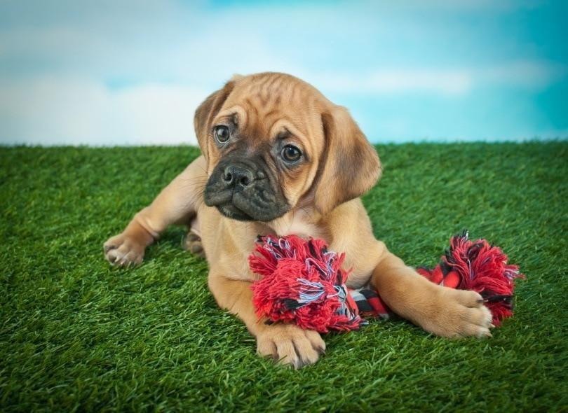 beabull puppy_JStaley401_Shutterstock