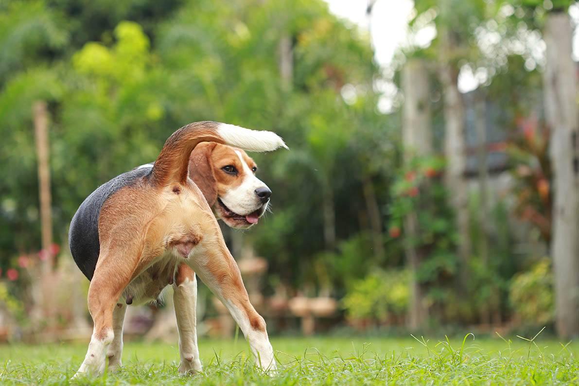 Beagle on estrus cycle
