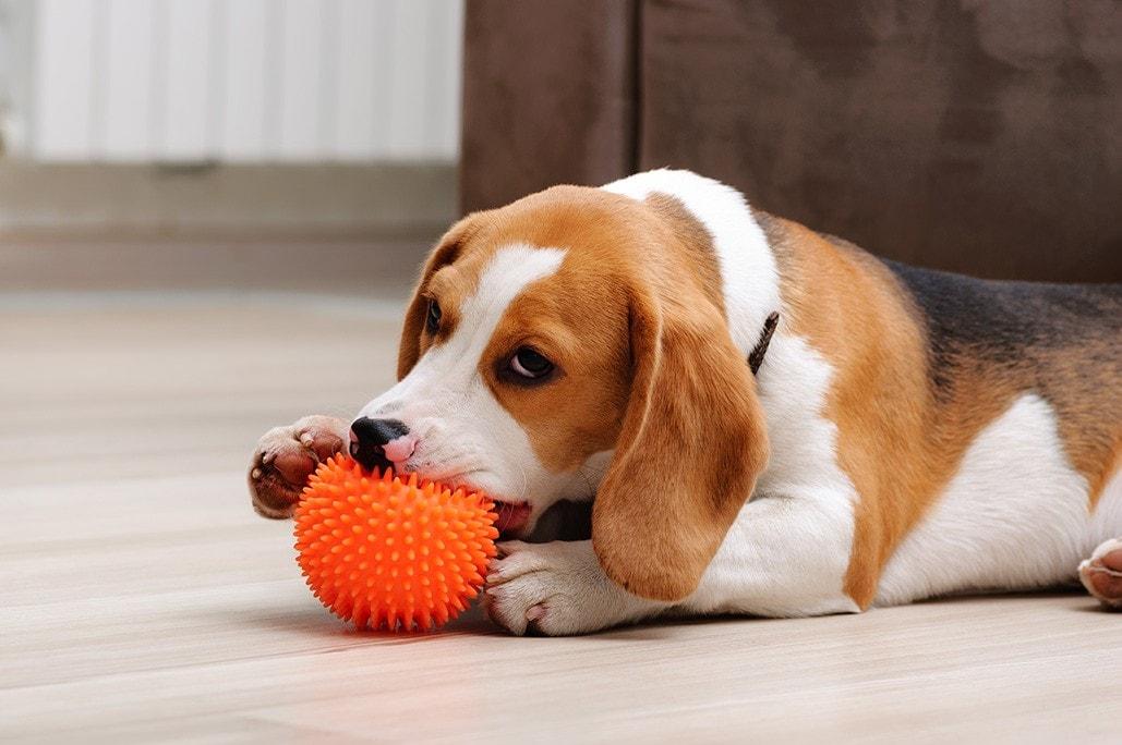 beagle puppy biting a chew ball