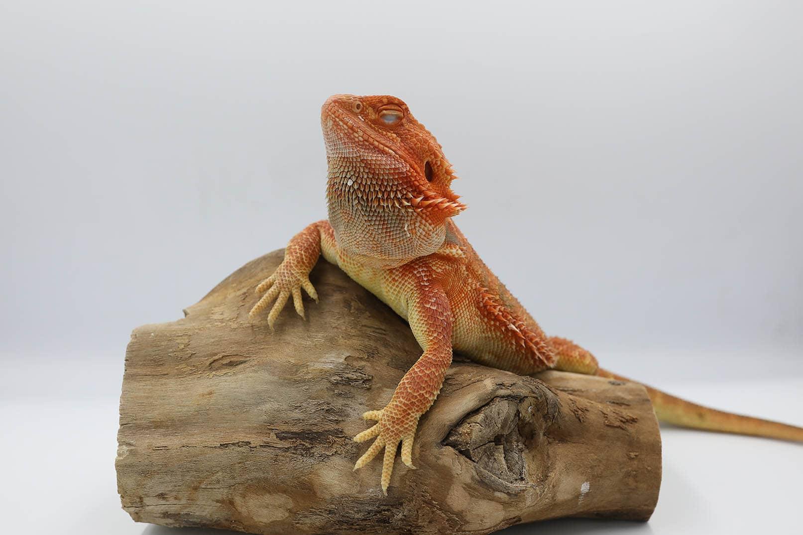 bearded dragon close eyes