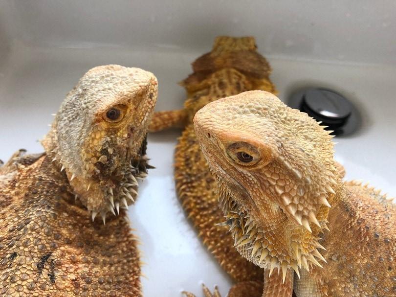 bearded-dragons-breeding_Sineenuch-J_shutterstock