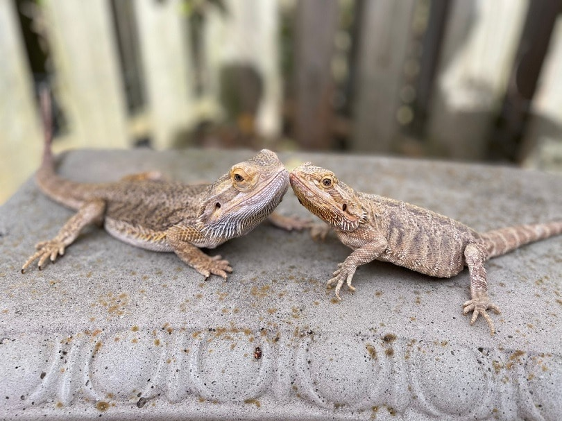 bearded-dragons-on-concrete-bench_Tara-Watkins_shutterstock