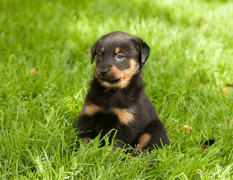 beauceron-puppy_Rutina_shutterstock
