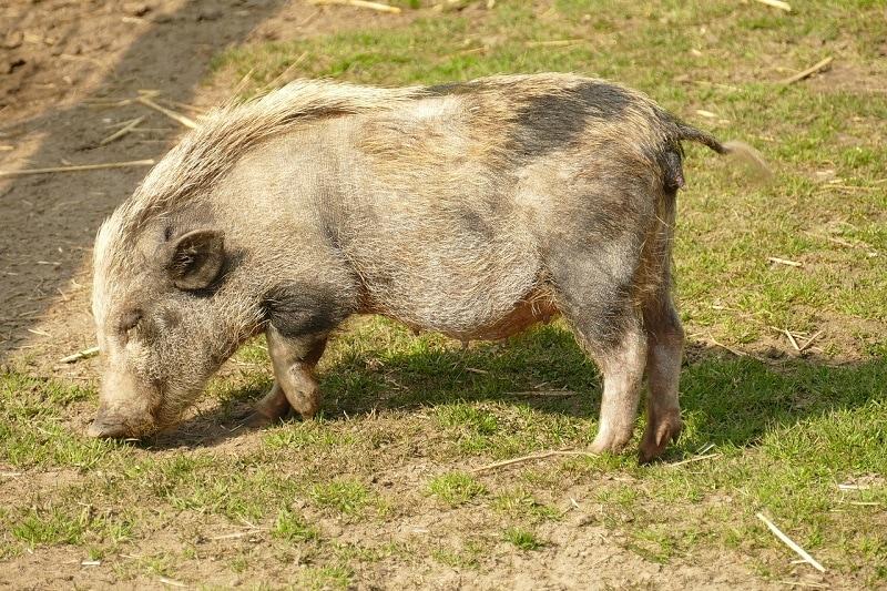 big potbellied pig