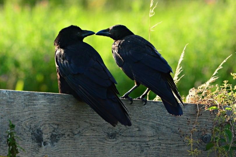 black-crow_Mabel Amber_Pixabay