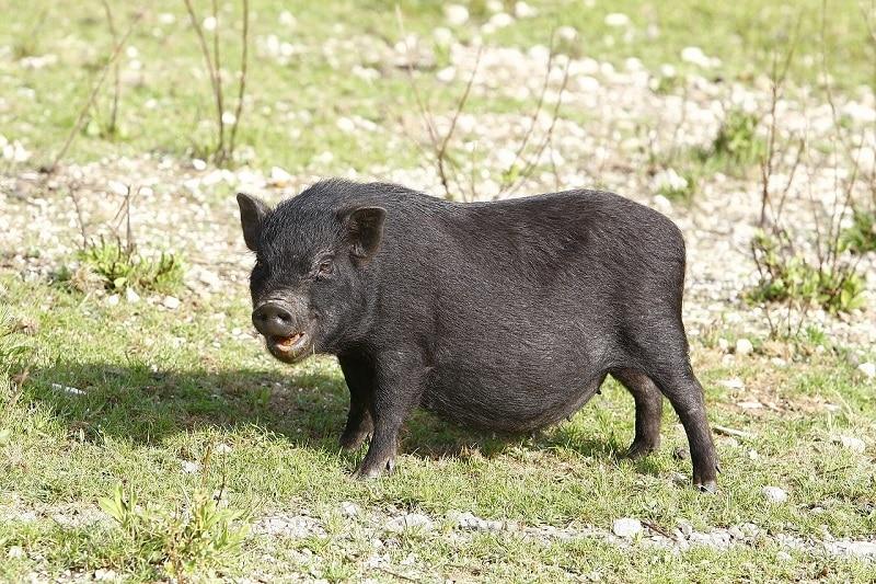 black potbellied pig