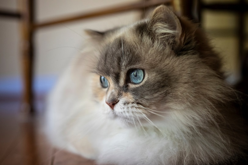 blue eyed Napoleon Minuet cat_Daves domestic cats_shutterstock