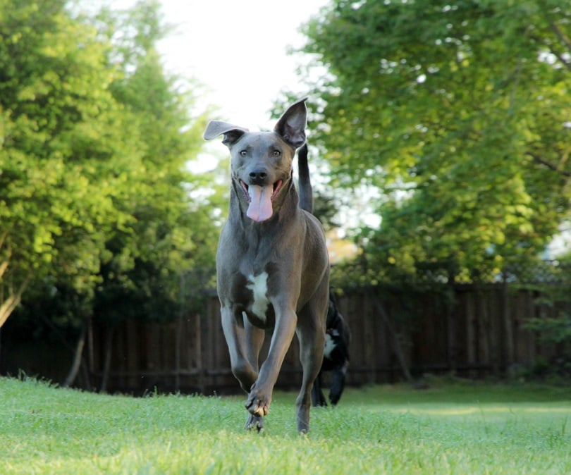 blue-lacy-dog-outdoor_jessica-lobsinger_shutterstock