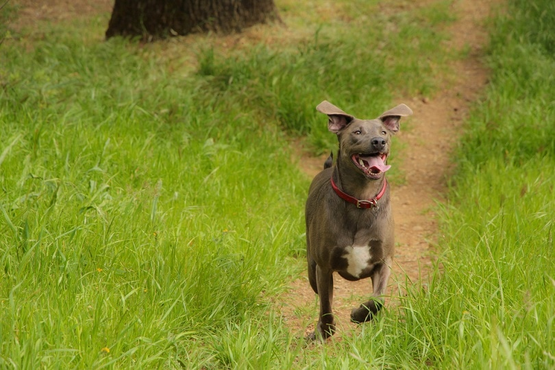 blue-lacy-dog-running_Jessica-Lobsinger_shutterstock