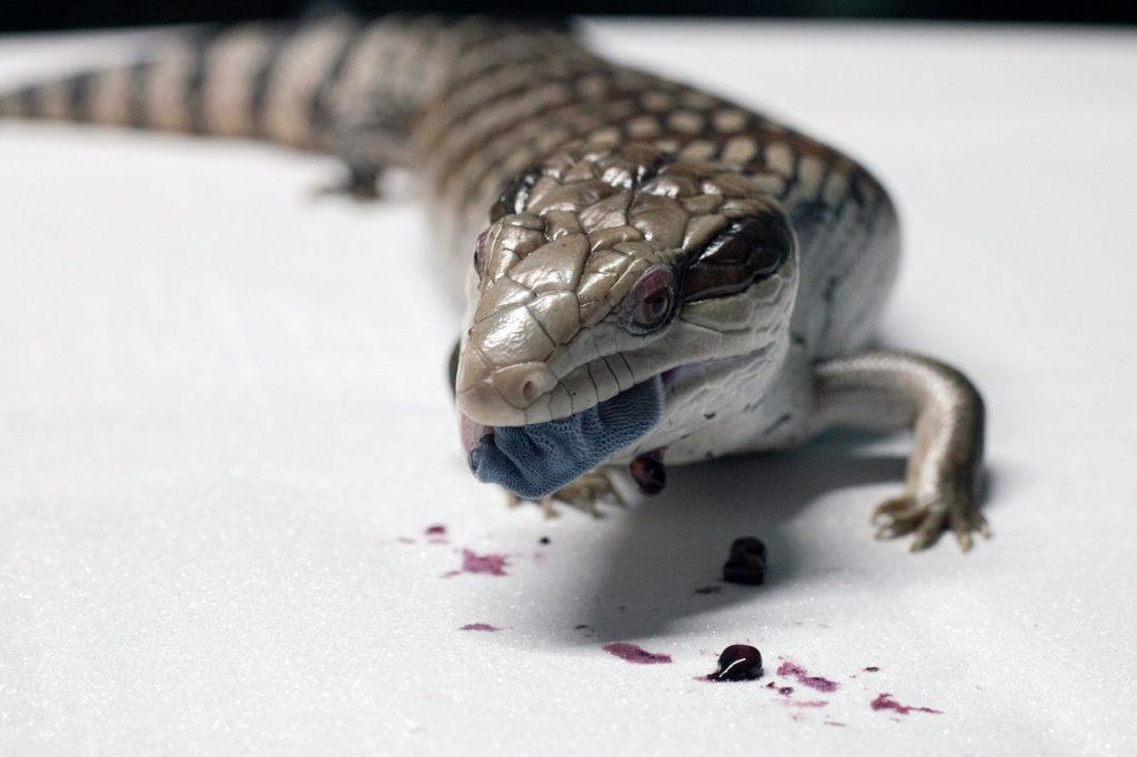 blue-tongued skink eatin_Pixabayg