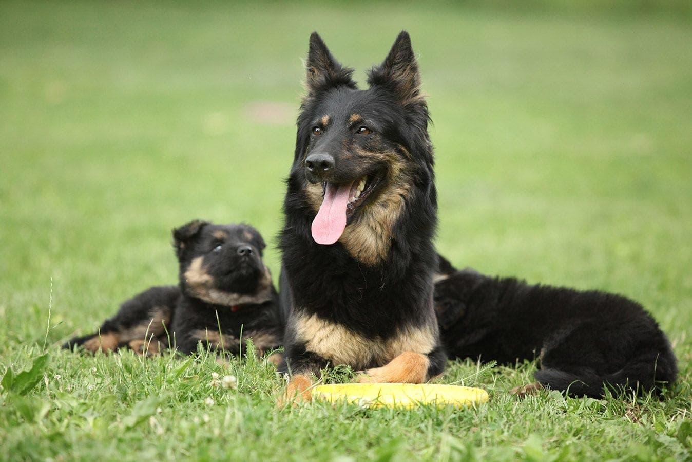 Bohemian Shepherd dog and puppy