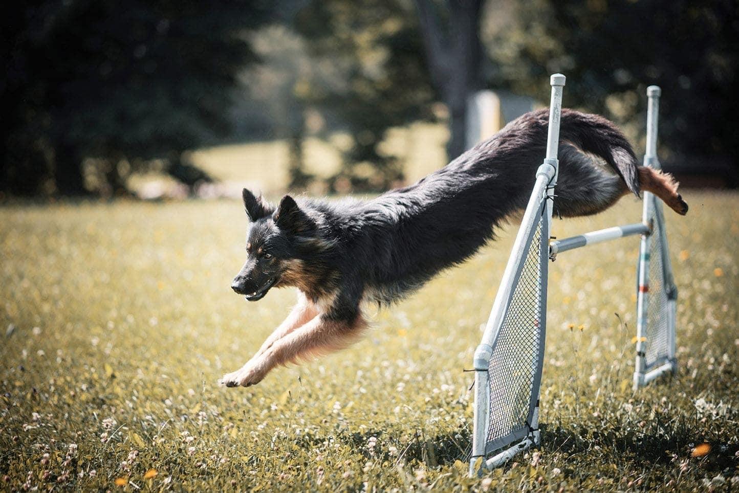 Bohemian shepherd training