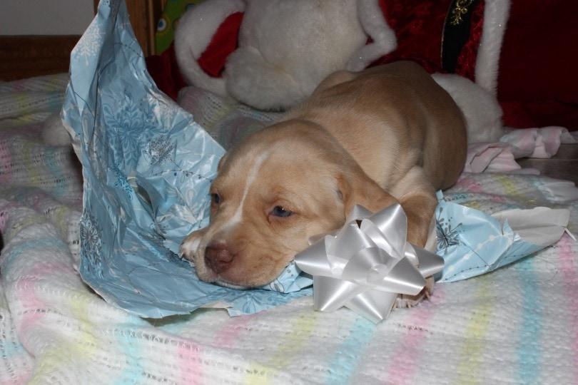 boxador puppy lying_Cinda-lu_Shutterstock