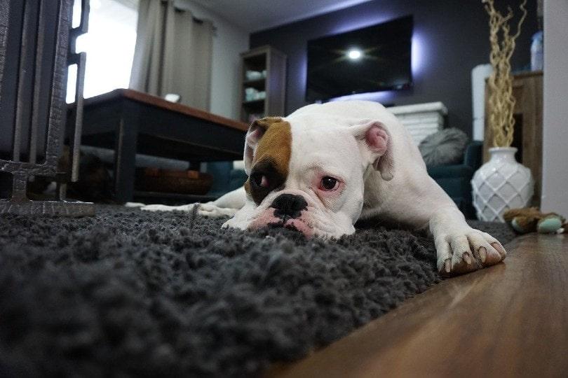 boxer lying on the carpet