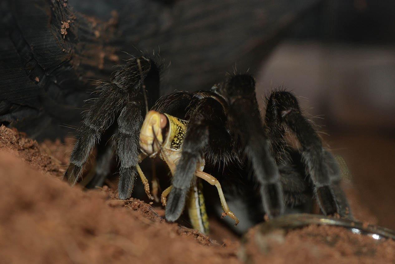 Brazilian Black Tarantula eating
