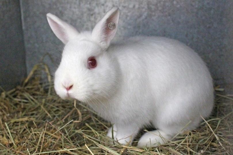 britannia petite rabbit_Pixabay