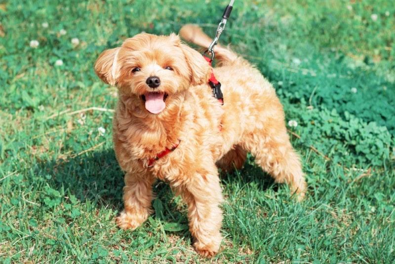 brown maltese puppy on grass