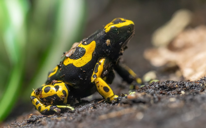 bumblebee poison dart frog_Henner Damke_Shutterstock