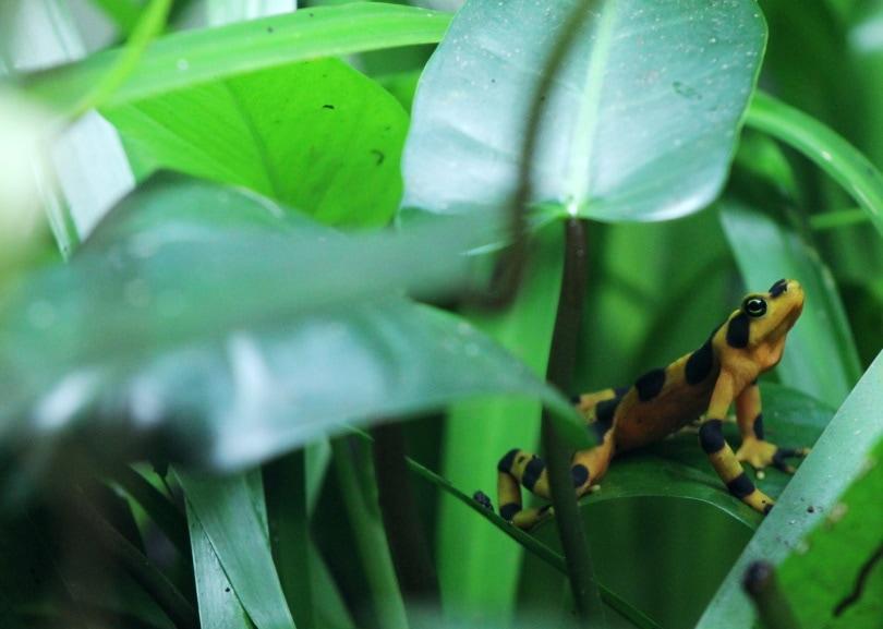 bumblebee poison dart frog_Piqsels