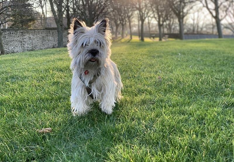 cairn terrier dog