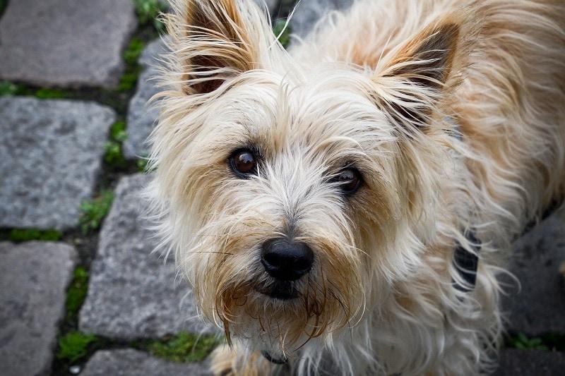 cairn terrier looking up