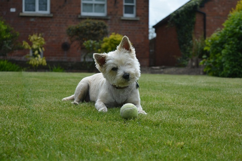 cairn terrier playing with a ball