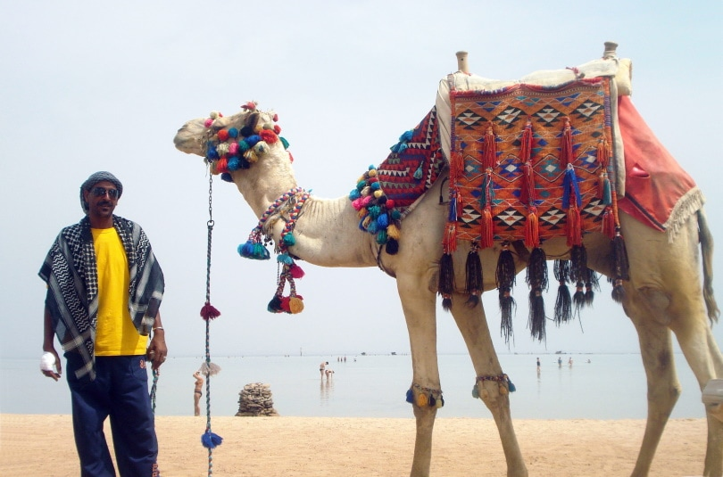 camel beauty contest_Piqsels
