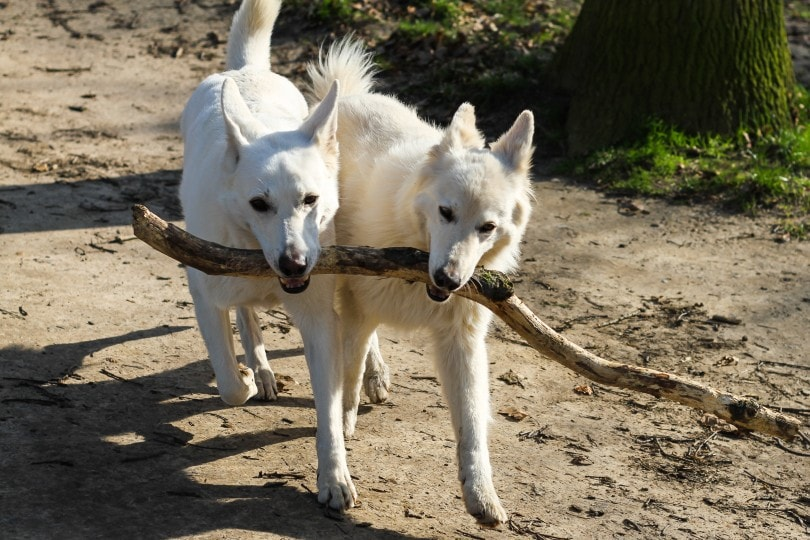 canaan dogs fetching a tree branch