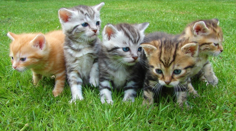 cat kitten_Piqsels