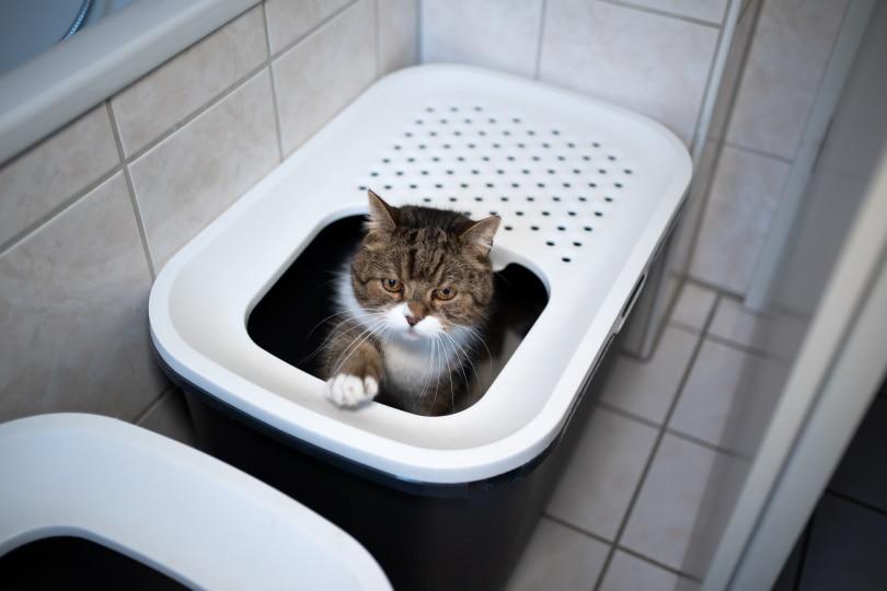 cat litter box top entry_Nils Jacobi_Shutterstock