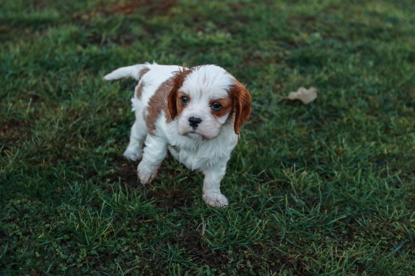 cavalier king puppy_Pixabay