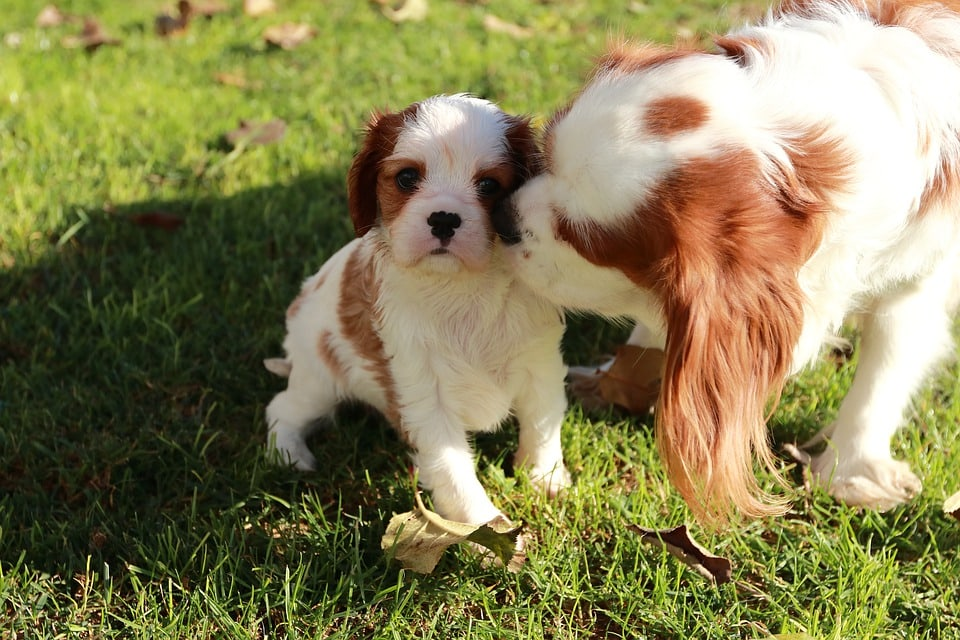 cavalier licking its puppy