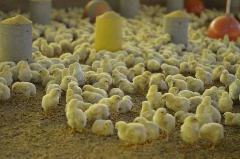 chicken chicks_Piqsels