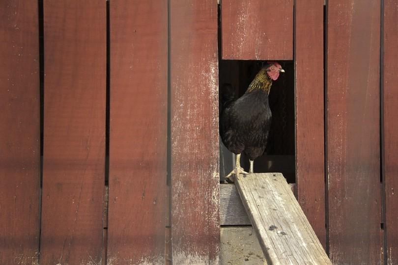 chicken in a coop