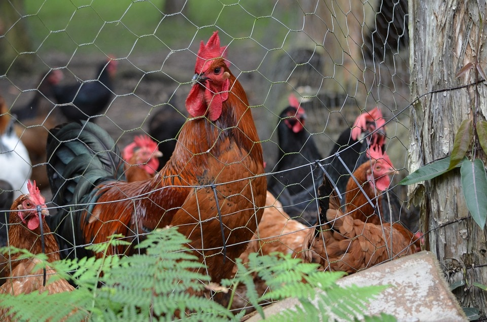 chicken wire fenced chickens