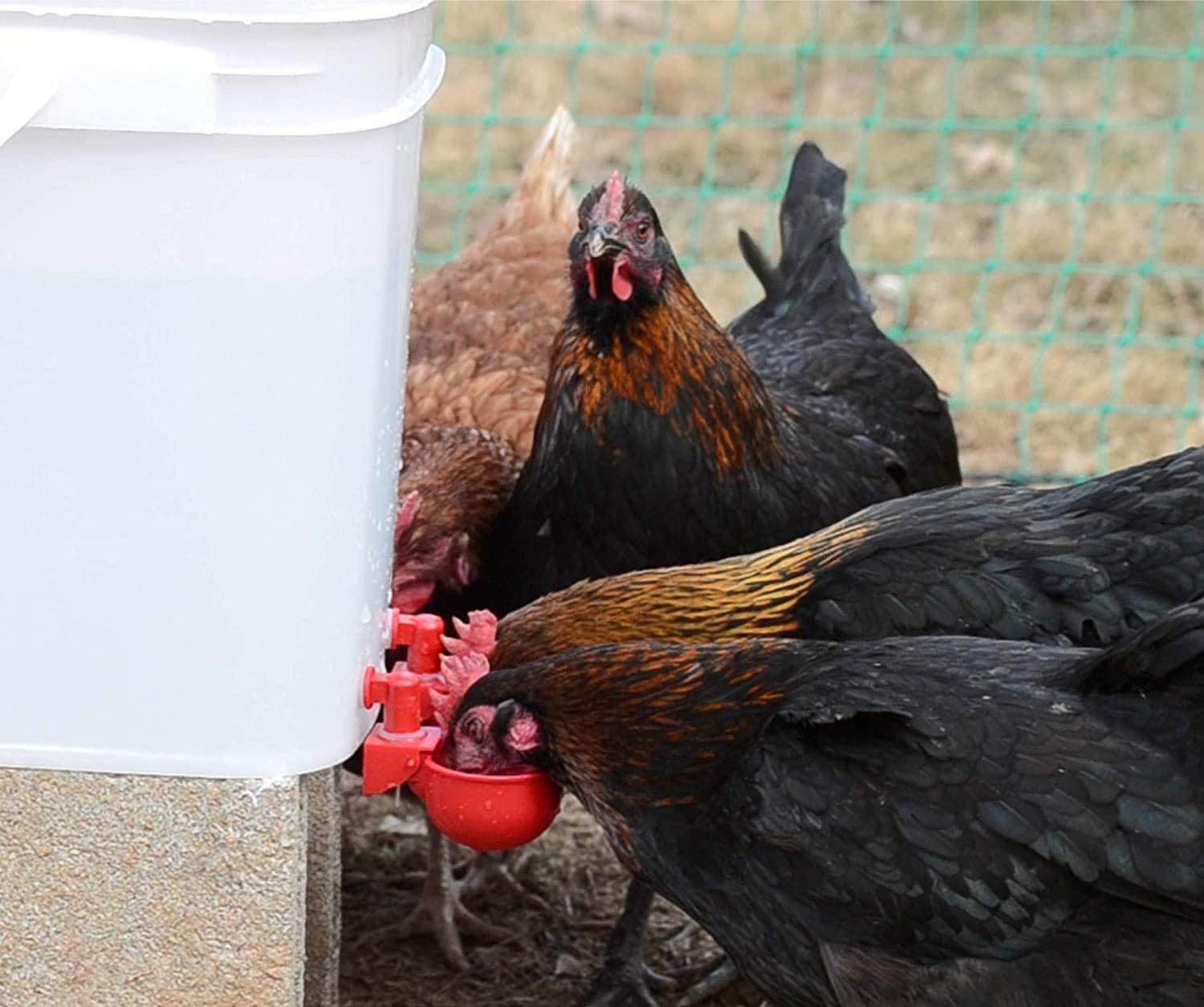 chickens using RentACoop Automatic Chicken Water Nipple Cup Waterer Kit