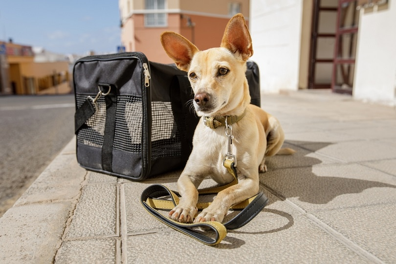 chihuahua-dog-in-transport-bag_Javier-Brosch_shutterstock