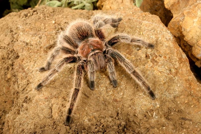 chilean rose hair tarantula_Audrey Snider-Bell_Shutterstock