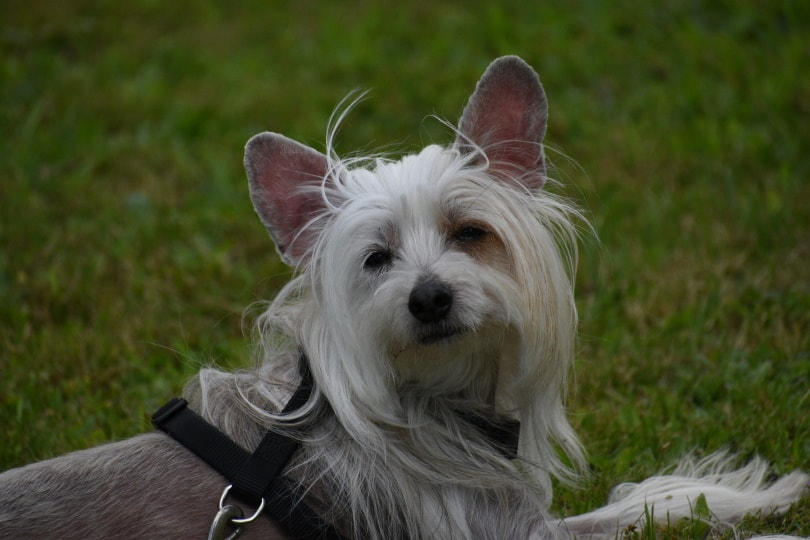 chinese crested dog in grass_Veronika Andrews_Pixabay