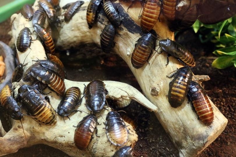 cockroaches_Pixabay