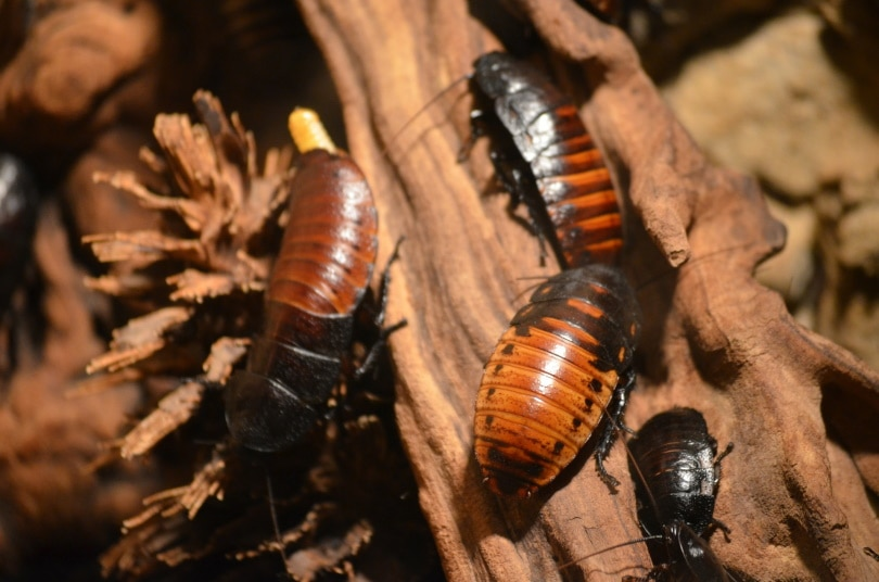 cockroaches_Walter Freudling_Pixabay