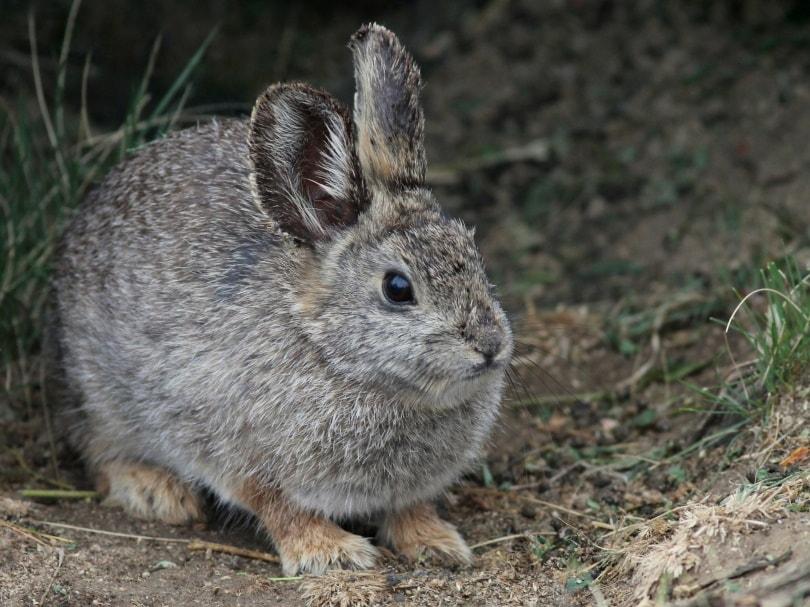 columbian basin pygmy rabbit_Randy Bjorklund_Shutterstock
