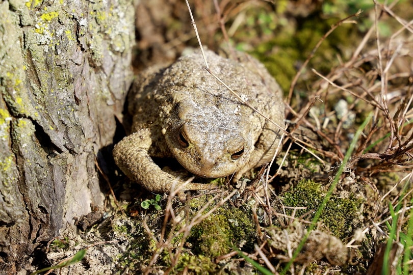 common tree frog_Franz W._Pixabay