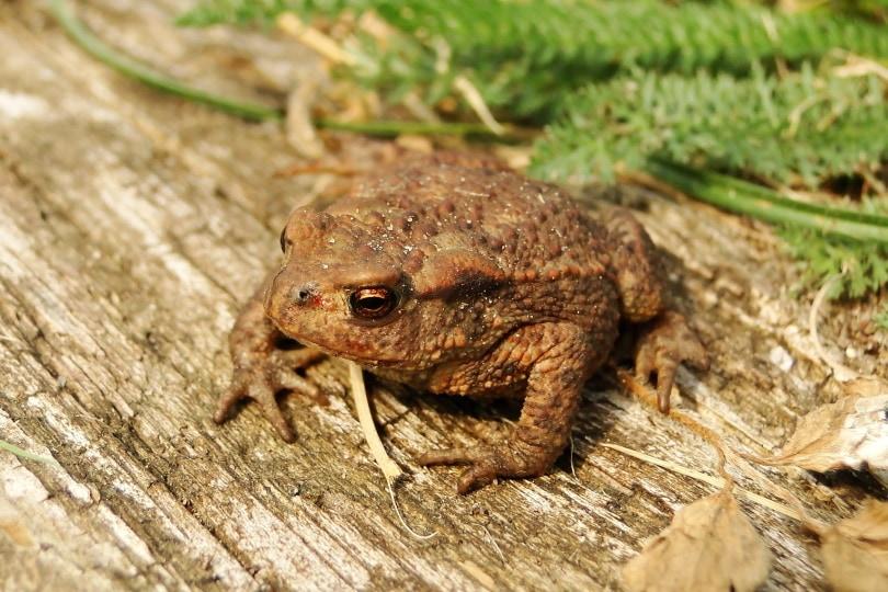 common tree frog_Krzysztof Niewolny_Pixabay