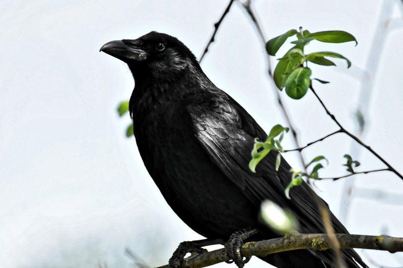 crow in tree_Alexas_Fotos_Pixabay