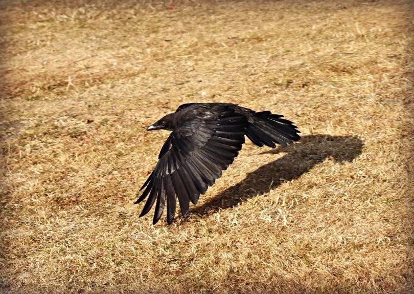 crow_Mabel Amber_Pixabay