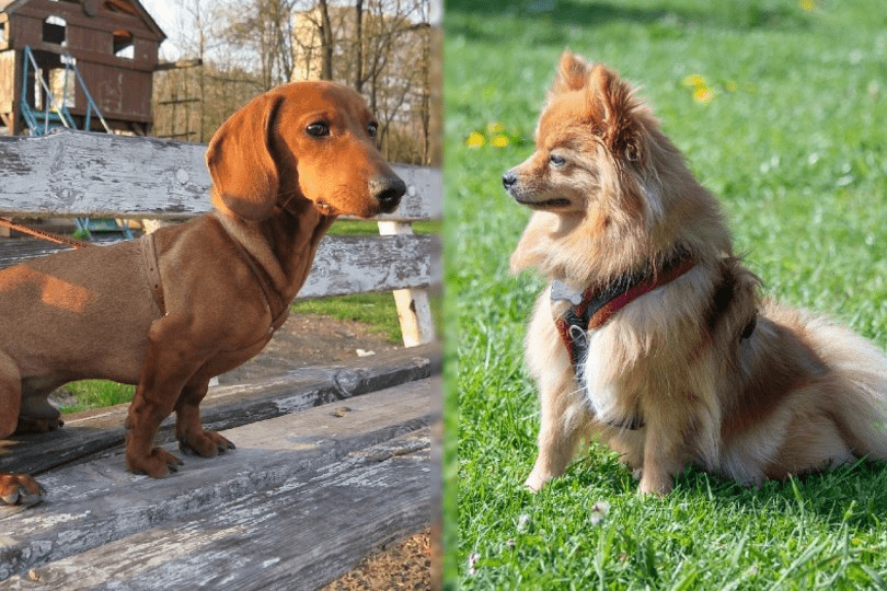 dachshund and pomeranian