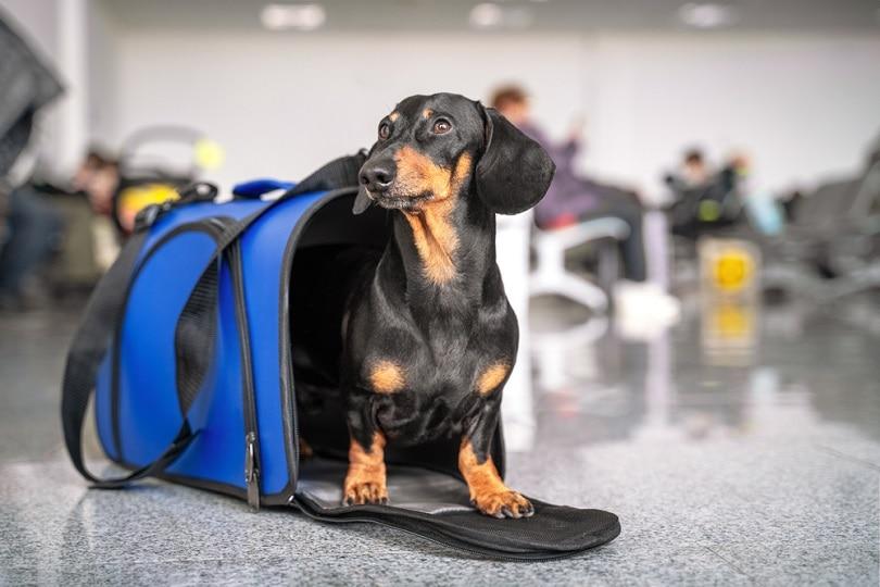 dachshund-dog-sits-in-blue-pet-carrier_Masarik_shutterstock