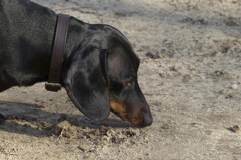 दछशुंड रेत पर सूँघना